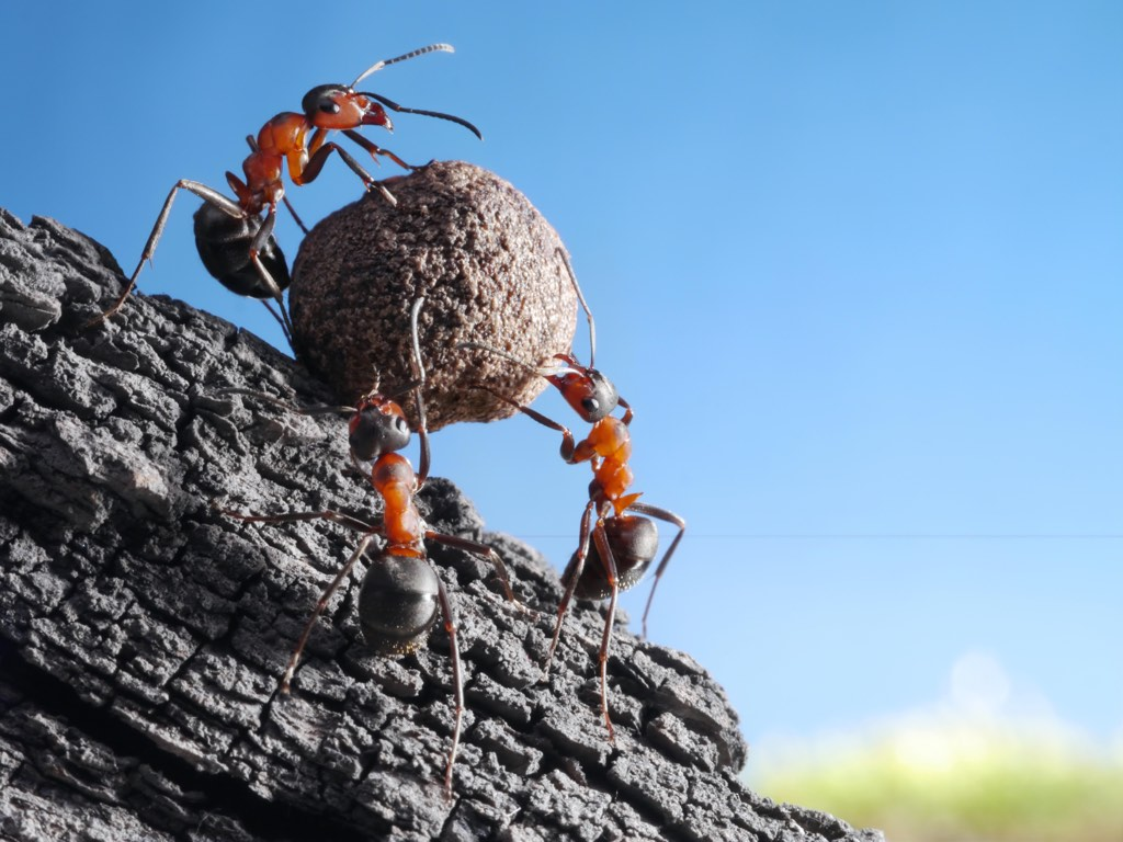 Ants struggling to move a ball of dung.